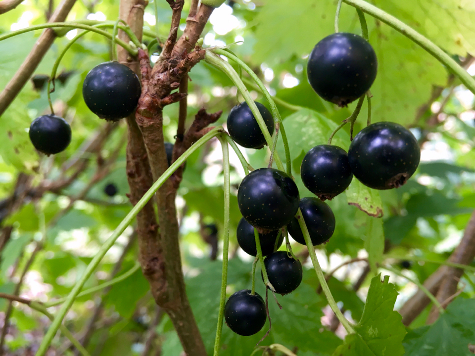 Blackcurrant berries