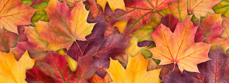 Colorful background of autumn maple tree leaves background close up. Multicolor maple leaves autumn background. High quality resolution picture